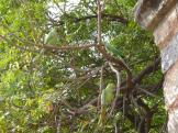 Parakeets are everywhere at the Lodi Gardens, Delhi
