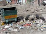 Bundi pigs sorting out the rubbish.