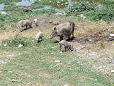 A Gwalior familiy of pigs - India.