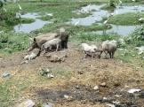 Pigs and muck at a temple site near Gwalior, India.