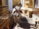 Jaisalamer oneway? this Indian cow thinks so!