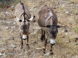 A pair of Udaipur donkeys