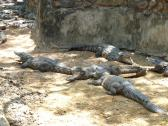 Basking Crocodiles at the Madras Crocodile Bank Trust in India.