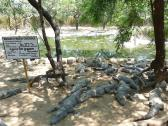 Madras Crocodile Bank Trust Marsh Crocodiles  - near Chennai in India.