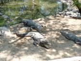 Several Mugger Crocodiles at the Crocodile Sanctuary near Chennai in India.
