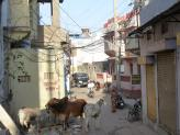 A typical Pushkar Street with cows and pigs everywhere.